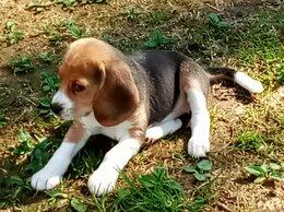 Собаки - Бигль девочка, 0