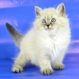 Кошки - Котёнок Невский Маскарадный, 0