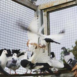 Птицы - Голуби , 0