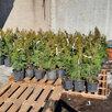 Саженцы туи смарагд дешевле чем в леруа по цене 270₽ - Рассада, саженцы, кустарники, деревья, фото 3