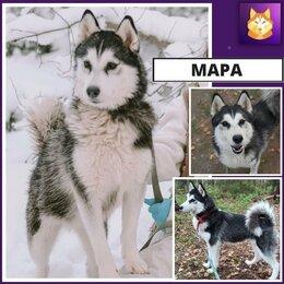 Собаки - Хаски Мара ищет дом. Отдаём Бесплатно!, 0