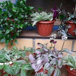 Комнатные растения - Традесканции разных видов, 0