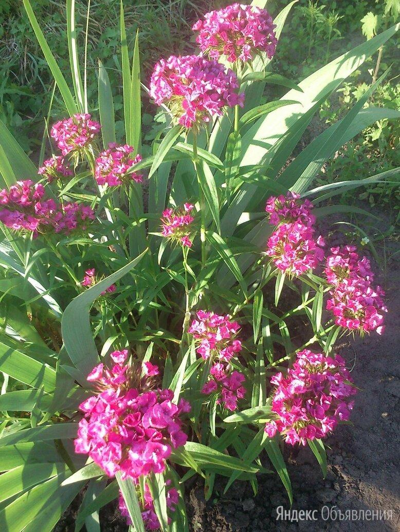 Многолетники для сада по цене 50₽ - Рассада, саженцы, кустарники, деревья, фото 0