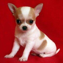 Собаки - Прехорошенькие  расписные детки чихуахуа   , 0
