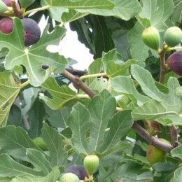 Рассада, саженцы, кустарники, деревья - Саженцы инжира. Оптом и в розницу, 0