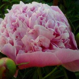 Рассада, саженцы, кустарники, деревья - Пион розовый, 0