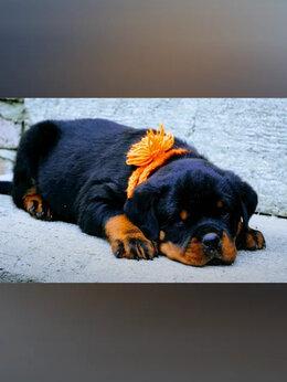 Собаки - Питомниковые щенки ротвейлера, 0