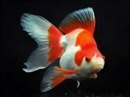 Аквариумные рыбки - Риукин красно-белый, 0