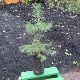 Рассада, саженцы, кустарники, деревья - Саженцы сосны обыкновенной, 0