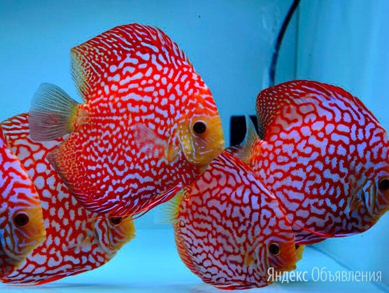 Дискус красная панда по цене 6000₽ - Аквариумные рыбки, фото 0