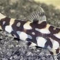 Аквариумные рыбки - Боция Кубота, 0