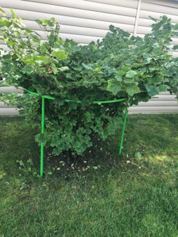 Комнатные растения - Кустодержатель Найди для смородины и крыжовника, 0