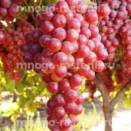 Рассада, саженцы, кустарники, деревья - Продажа саженцев винограда с доставкой, 0