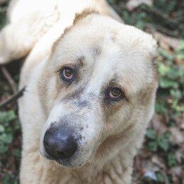 Собаки - Алабай Гвидон ждёт любящую семью , 0