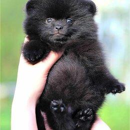Собаки - Щенок померанского шпица, 0