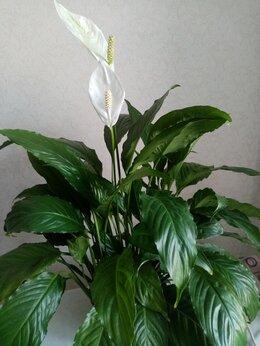 Комнатные растения - Спатифилум, 0