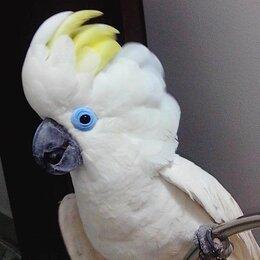 Птицы - Синеочковый какаду (Cacatua ophthalmica) -…, 0