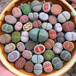 Комнатные растения - Lithops, литопсы, семена, 0