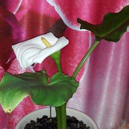 Комнатные растения - Калла, 0
