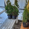 Саженцы туи смарагд дешевле чем в леруа по цене 270₽ - Рассада, саженцы, кустарники, деревья, фото 7