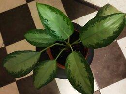 Комнатные растения - Комнатное растения Англаонема, 0