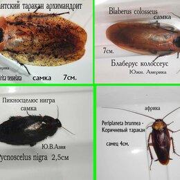 Корма  - Кормовые тараканы для рептилий и пауков от 2-7см., 0