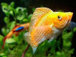 Аквариумные рыбки - Моллинезия золотая парусная, 0