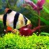 БАРБУС СУМАТРАНСКИЙ - ЗАМОРОЖЕННЫЕ И СУХИЕ КОРМА по цене 60₽ - Аквариумные рыбки, фото 1