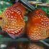 Дискус красная панда по цене 6000₽ - Аквариумные рыбки, фото 4