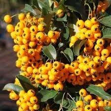 Семена - Семена Пираканты желтой 30 шт., 0