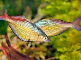 Аквариумные рыбки - Хилатерина радужница Фасциата Деревня Faowi, 0