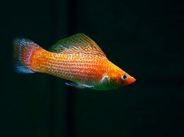 Аквариумные рыбки - Моллинезия шафранная белобрюхая, 0