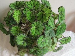 Комнатные растения - Бегония тигровая, 0