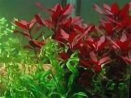 Растения для аквариумов и террариумов - Альтернатера лилацина, 0