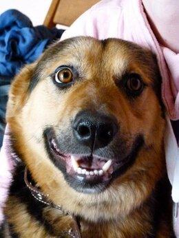 Собаки - Золотой парень Алекс ждёт свою семью!, 0