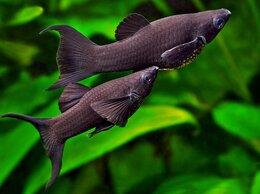 Аквариумные рыбки - Моллинезия черная, 0