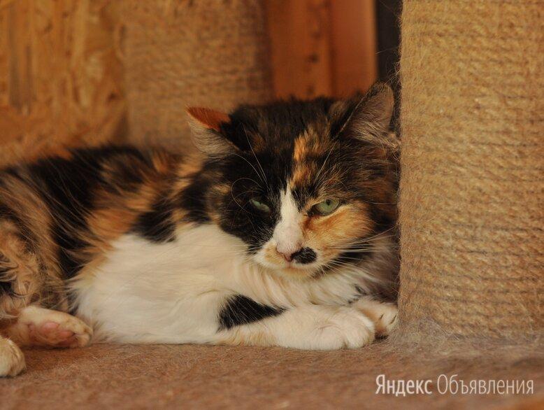 Трехцветная кошка Анфиса по цене даром - Кошки, фото 0