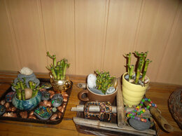 Комнатные растения - Бамбук Счастья, 0