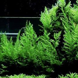 Растения для аквариумов и террариумов - Папоротник Болбитис Хедело (Bolbitis Heudelotii) живое растение для аквариума, 0