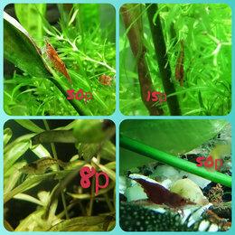 Аквариумные рыбки - Креветки неокардины , 0