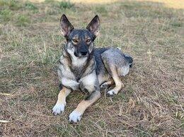 Собаки - Маленькая волчица Сони в поиске дома! 1,5 года, 0