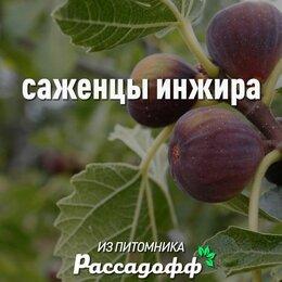 Рассада, саженцы, кустарники, деревья - Саженцы инжира. 1-2 годовалые, 0