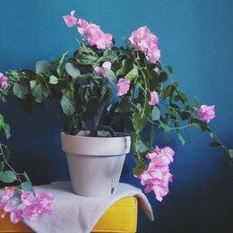 Комнатные растения - Бугенвиллия, 0