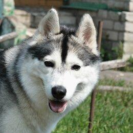 Собаки - Сибирский хаски, 0