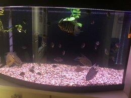 Аквариумные рыбки - Северум гаянский , 0
