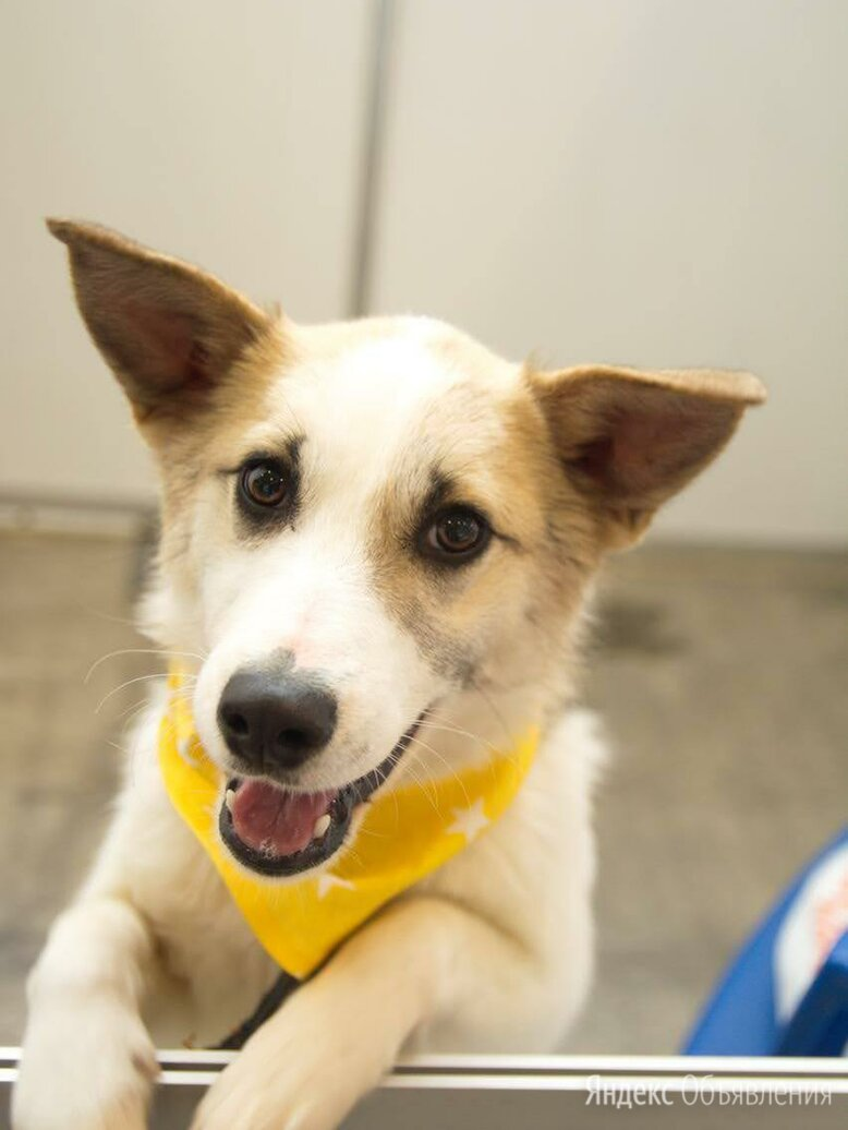 Красавица Ханна ищет самую любящую семью по цене даром - Собаки, фото 0