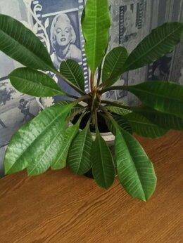 Комнатные растения - Пальма - Молочай беложилковый , 0