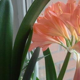 Комнатные растения - Отростки кливии, 0