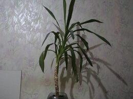 Комнатные растения - пальма юкка, 0