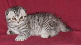 Кошки - вислоухие котята в Балаково, 0